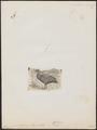 Cereopsis novae hollandiae - 1700-1880 - Print - Iconographia Zoologica - Special Collections University of Amsterdam - UBA01 IZ17600115.tif