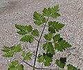 Chaerophyllum temulum leaf (01).jpg