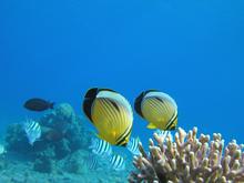 Una coppia di pesci farfalla nuota in prossimità dei coralli