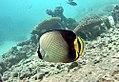 Chaetodon decussatus Maldives.jpg