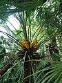 Chamaerops humilis l. flowers.jpg
