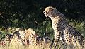 Cheetah, Acinonyx jubatus, at Pilanesberg National Park, Northwest Province, South Africa. (26975988444).jpg