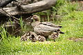 Chenonetta jubata -Australia -adult female with chicks-8.jpg