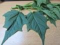 Chenopodium hybridum leaf (5).jpg