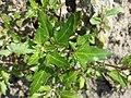 Chenopodium rubrum (s. str.) sl32.jpg