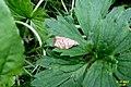 Chequered fruit-tree tortrix (Pek) (8043249710).jpg