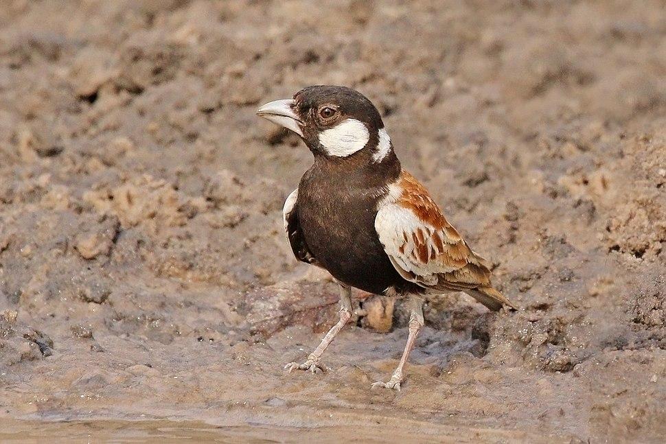 Chestnut-backed sparrow-lark (Eremopterix leucotis melanocephalus) male