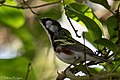 Chestnut-sided Warbler (male) Anahuac NWR-Jackson Prairie Woodlot TX 2018-04-24 16-20-01 (42013192872).jpg