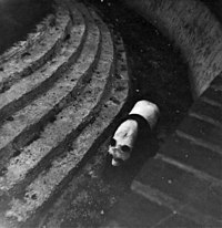 Chi Chi, Giant Panda, London Zoo, Camden, taken 1967 - geograph.org.uk - 738608.jpg