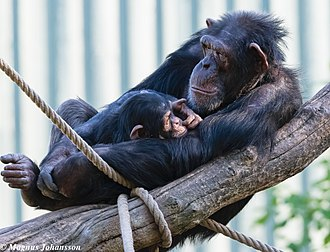 Common chimpanzee - Female with infant in Kolmården Wildlife Park in Sweden