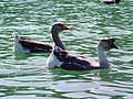 Chinese goose pair swimming.jpg