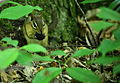 Chipmunk-eating-wildlife 10 - West Virginia - ForestWander.jpg