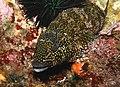 Chironemus marmoratus - Poor Knights Islands - 4329622574.jpg