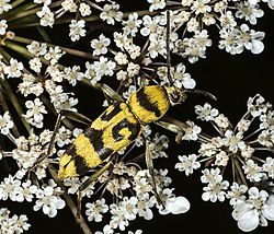 Chlorophorus varius MHNT Fronton.jpg