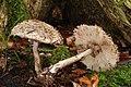 Chlorophyllum rhacodes Safran-Riesenschirmpilz .jpg
