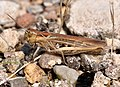 Chorthippus apricarius qtl1.jpg