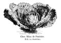 Chou Milan de Pontoise Vilmorin-Andrieux 1904.png