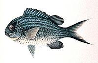 Chromis caerulea