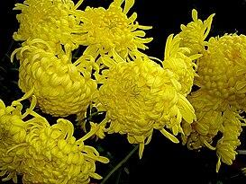 273px-Chrysanthemum.JPG