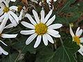 Chrysanthemum japonense2.jpg