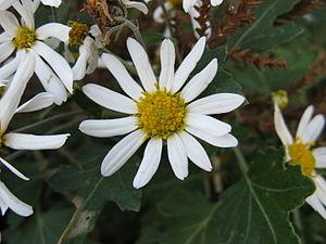 Chrysanthemum japonense - Image: Chrysanthemum japonense 2