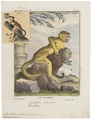 Chrysothrix sciureus - 1700-1880 - Print - Iconographia Zoologica - Special Collections University of Amsterdam - UBA01 IZ20200202.tif