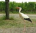 Ciconia ciconia -Alsace -France -8g.jpg