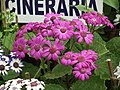 Cineraria from Lalbagh flower show Aug 2013 8223.JPG