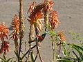 Cinnyris afer, mannetjie in Aloe arborescens, Mthonjaneni.jpg