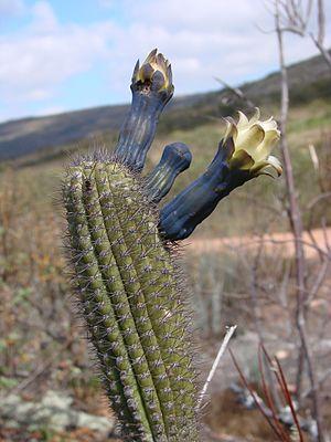 Cipocereus minensis.jpg