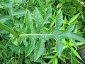 Cirsium oleraceum blatt.jpeg