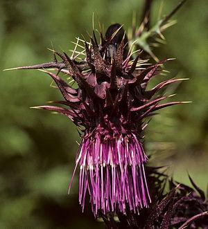 Cirsium vinaceum - Image: Cirsium vinaceum
