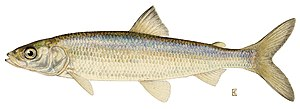 Coregonus - Cisco or lake herring, Coregonus artedi
