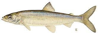 Red Tarn - Schelly fish