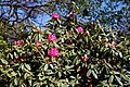 City of London Cemetery and Crematorium ~ pink flowering rhododendron 02.jpg
