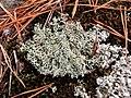 Cladonia arbuscula 61164704.jpg