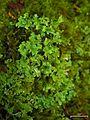 Cladonia macrophyllodes 109104.jpg