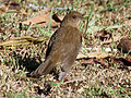 Clay-colored Thrush RWD6.jpg