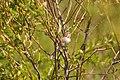 Clay-coloured Sparrow! (34802157211).jpg