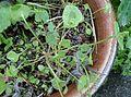 Claytonia perfoliata at Chapeltoun.JPG
