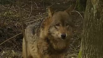 Datei:Close opnamen wolf-Stichting Natuurbeelden-170951.webm