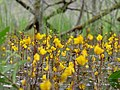 Close up of Utricularia vulgaris flowers in the Teufelsbruch swamp 07.jpg