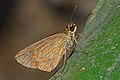 Close wing position of Scobura phiditia (Hewitson, (1866)) – One-spotted Forest Bob DSC 3743.jpg