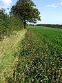 Clover in a field near Dalby - geograph.org.uk - 551910.jpg