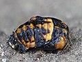 Coccinella septempunctata - 50144342506.jpg