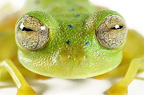 Description de l'image Cochran's glass frog (14793099217).jpg.