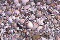 Cockle Shells - geograph.org.uk - 200604.jpg