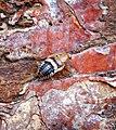 Cockroach species? (36953244815).jpg
