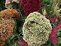 Cockscomb from Lalbagh flower show Aug 2013 8433.JPG