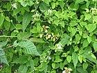 Codonopsis pilosula & Clematis serratifolia (21160397712).jpg